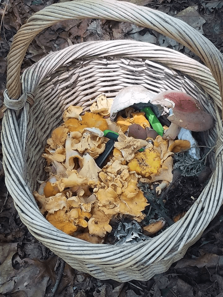 mushroom foragers of Georgia, a basket full of mushrooms of various shapes colors and sizes