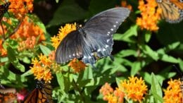 Butterfly on flowers in article about pollinator exhibit at Smith-Gilbert Gardens